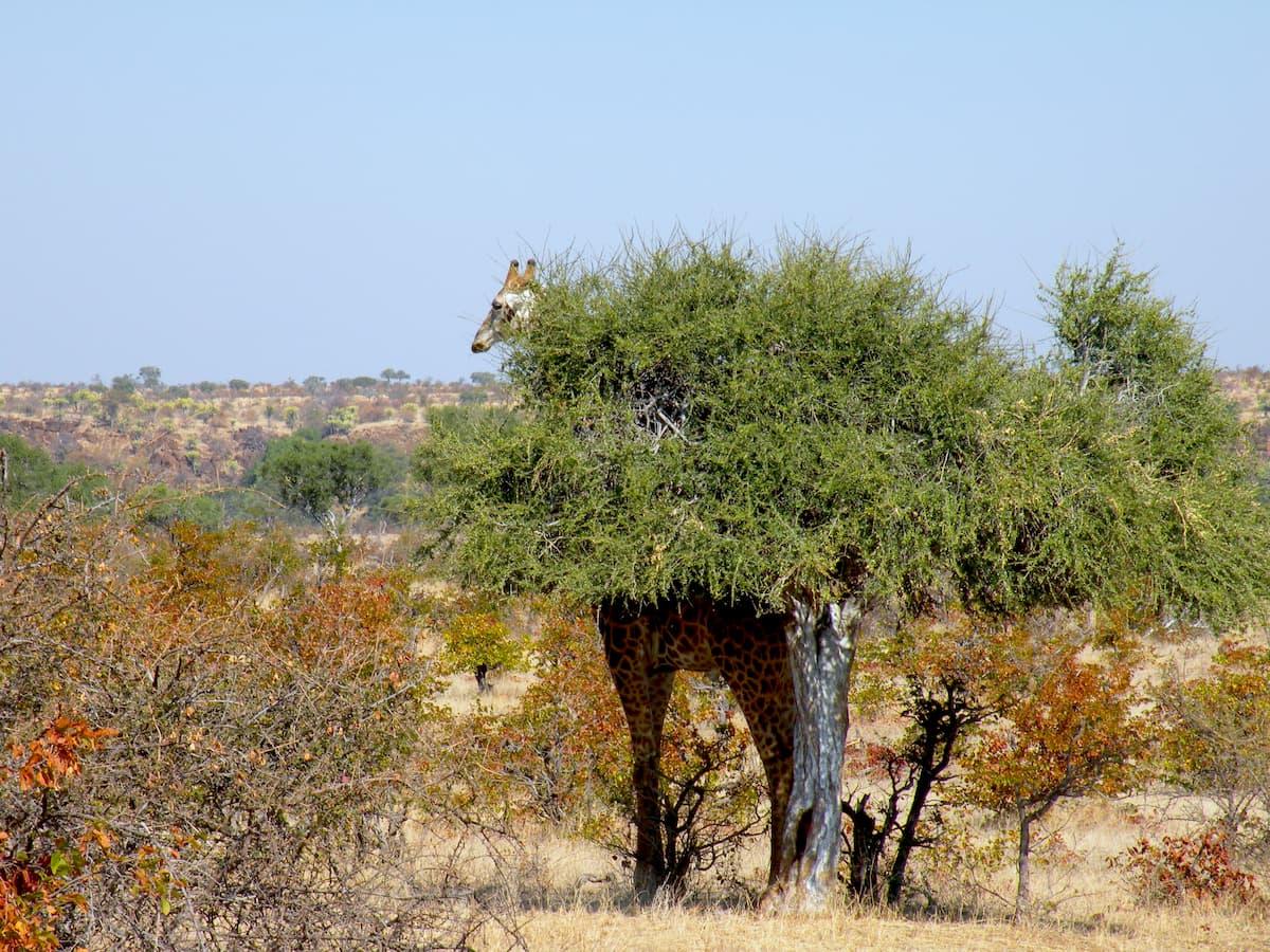 Africa - giraffa