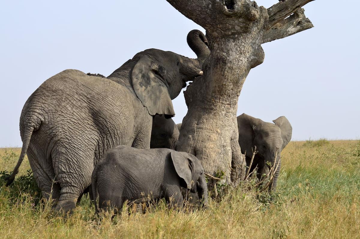Africa - safari - elefanti
