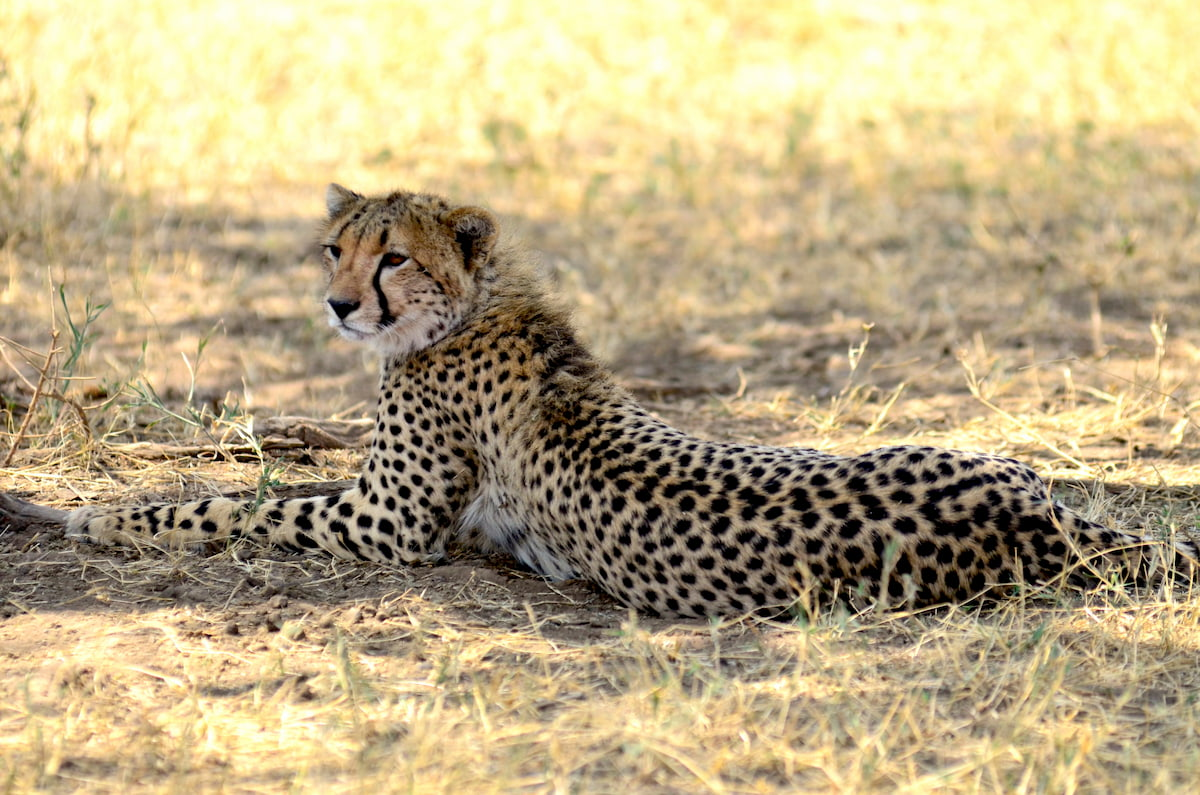 Africa - ghepardo