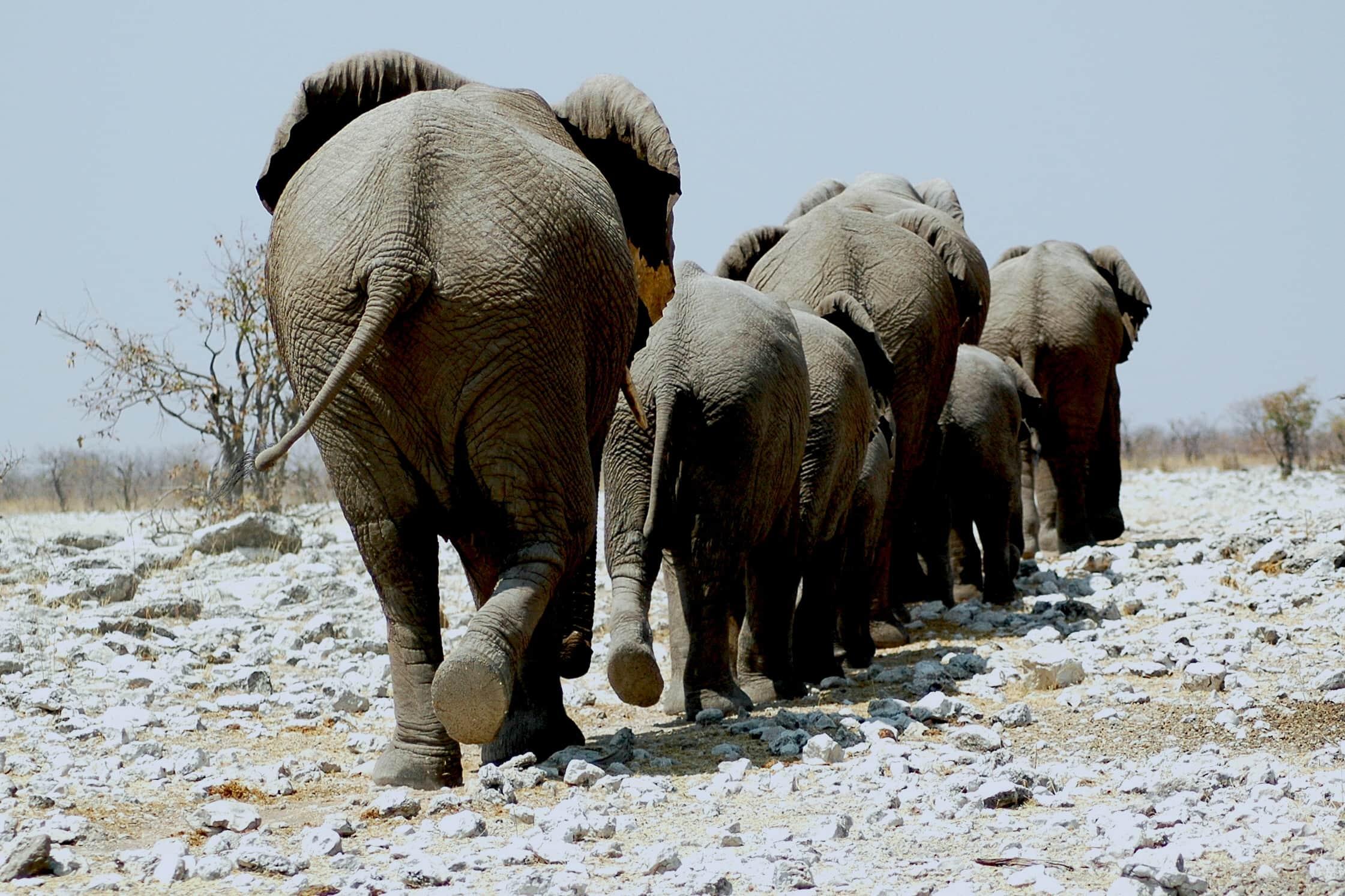 Africa - Namibia - Etosha - elefanti