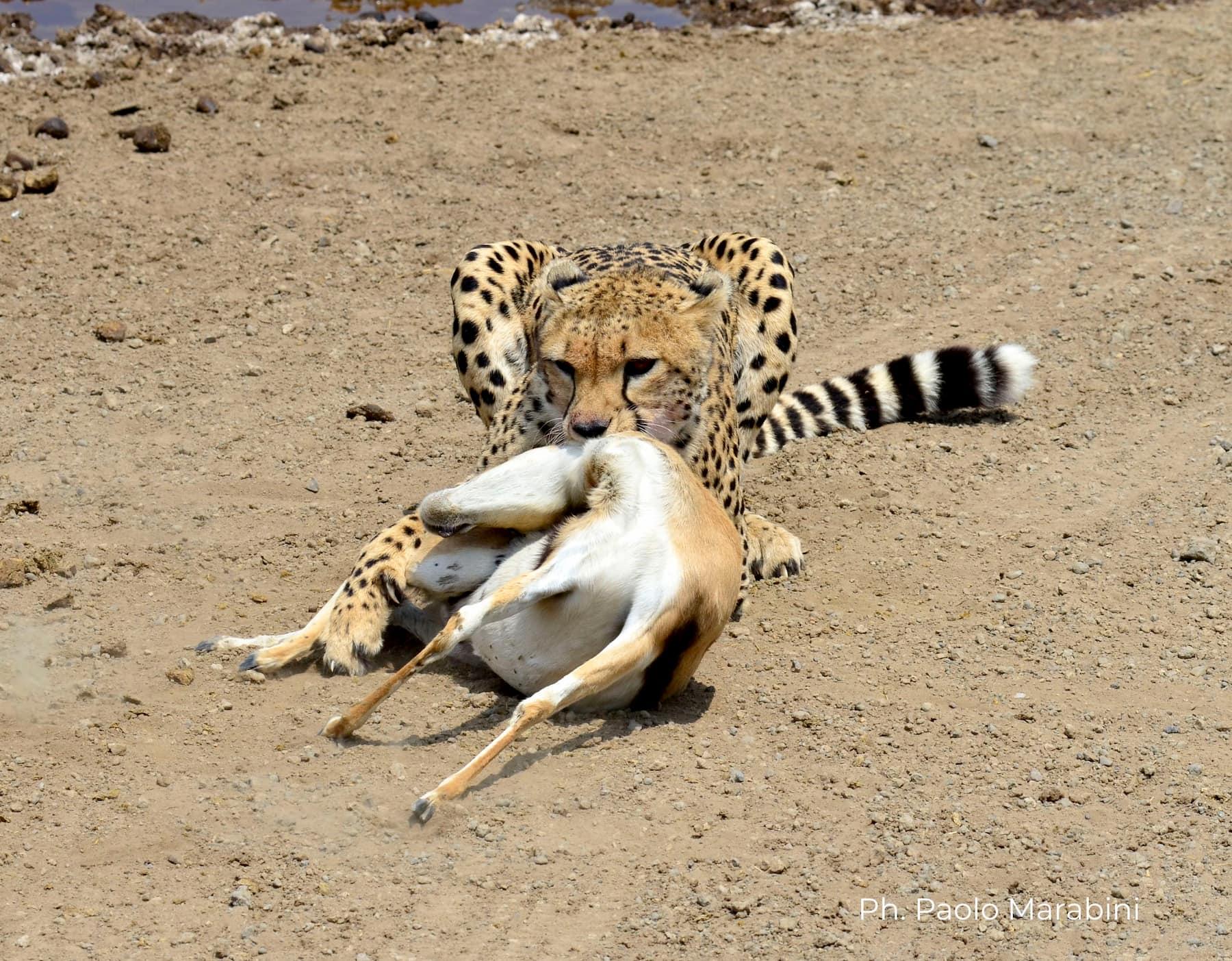 Africa - safari - caccia - ghepardo con gazzella