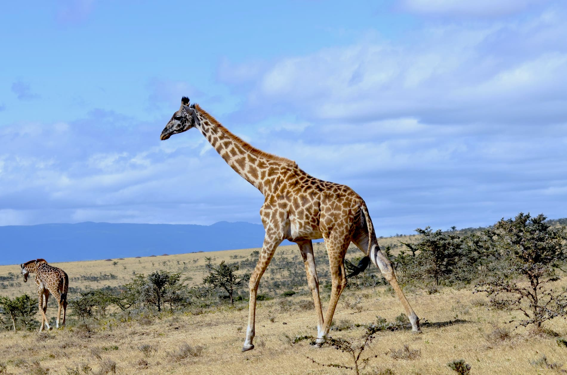 Adventour - Tanzania - Safari - Giraffe