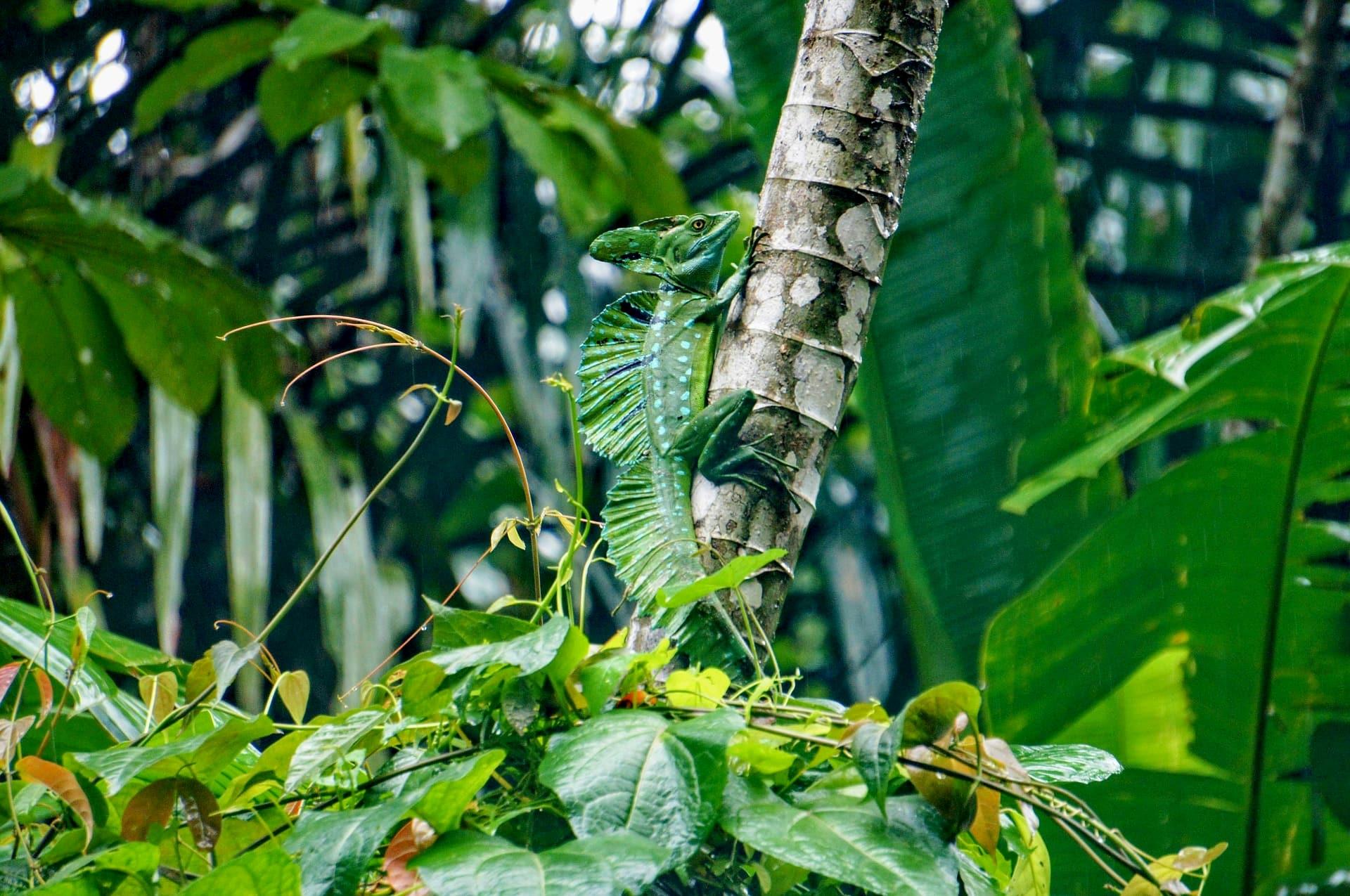 Adventour - Costa Rica - tortuguero - basilisk