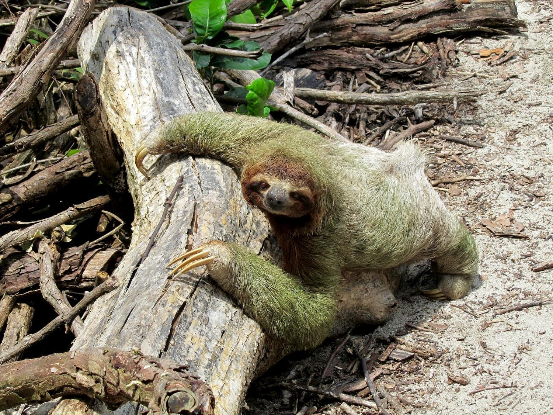 Adventour - Costa Rica - tortuguero - bradipo