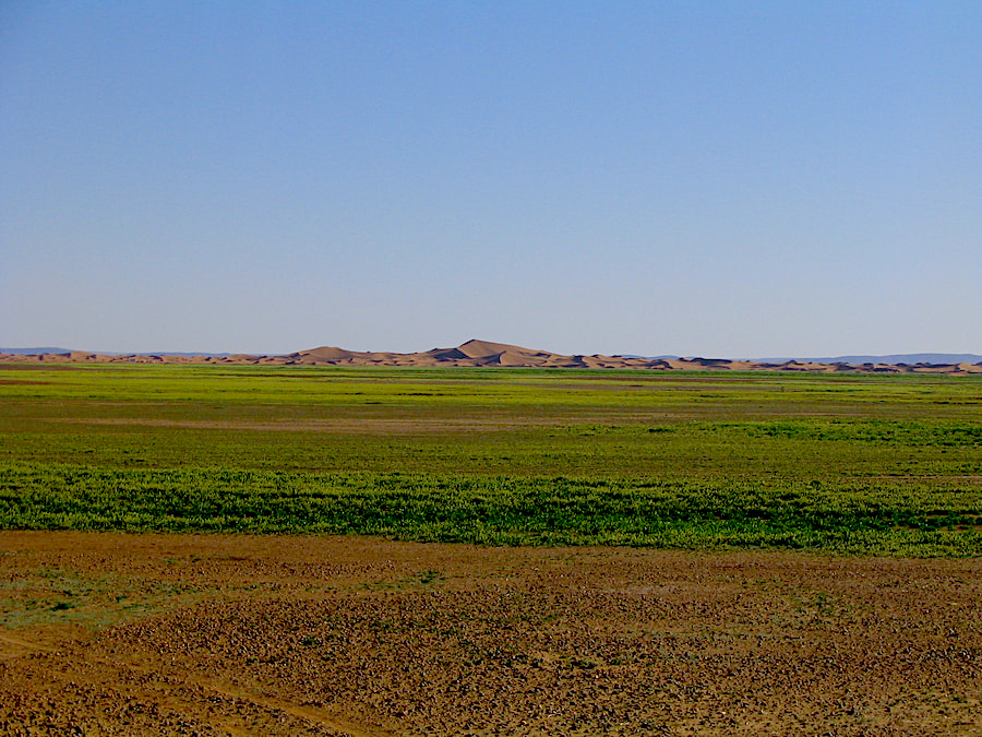 Marocco - deserto - erba tra le dune dell'Erg Chegaga dopo una pioggia eccezionale. Adventour - Viaggi su misura verso Marocco, India, Sudafrica, Botswana, Costa Rica.