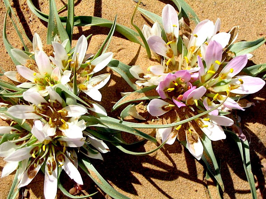 Marocco - fiori del deserto tra le dune dell'Erg Chegaga dopo una pioggia eccezionale. Adventour - Viaggi su misura verso Marocco, India, Sudafrica, Botswana, Costa Rica.