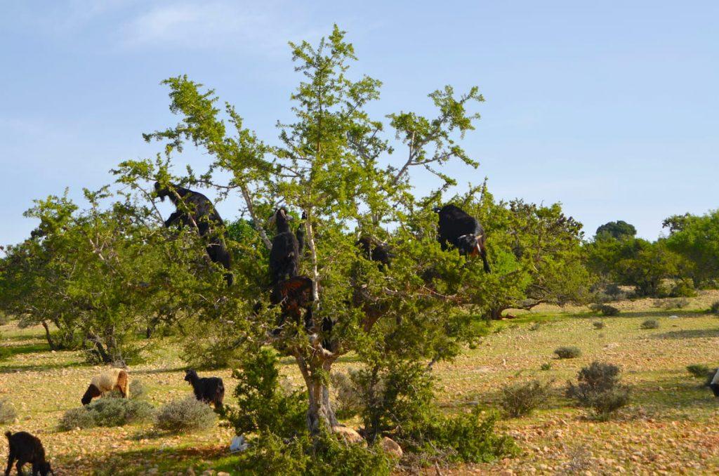 Marocco - Essaouira - albero di argan Adventour - Viaggi su misura verso Marocco, India, Sudafrica, Botswana, Costa Rica.