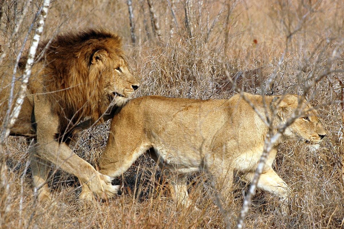 Africa - leone e leonessa