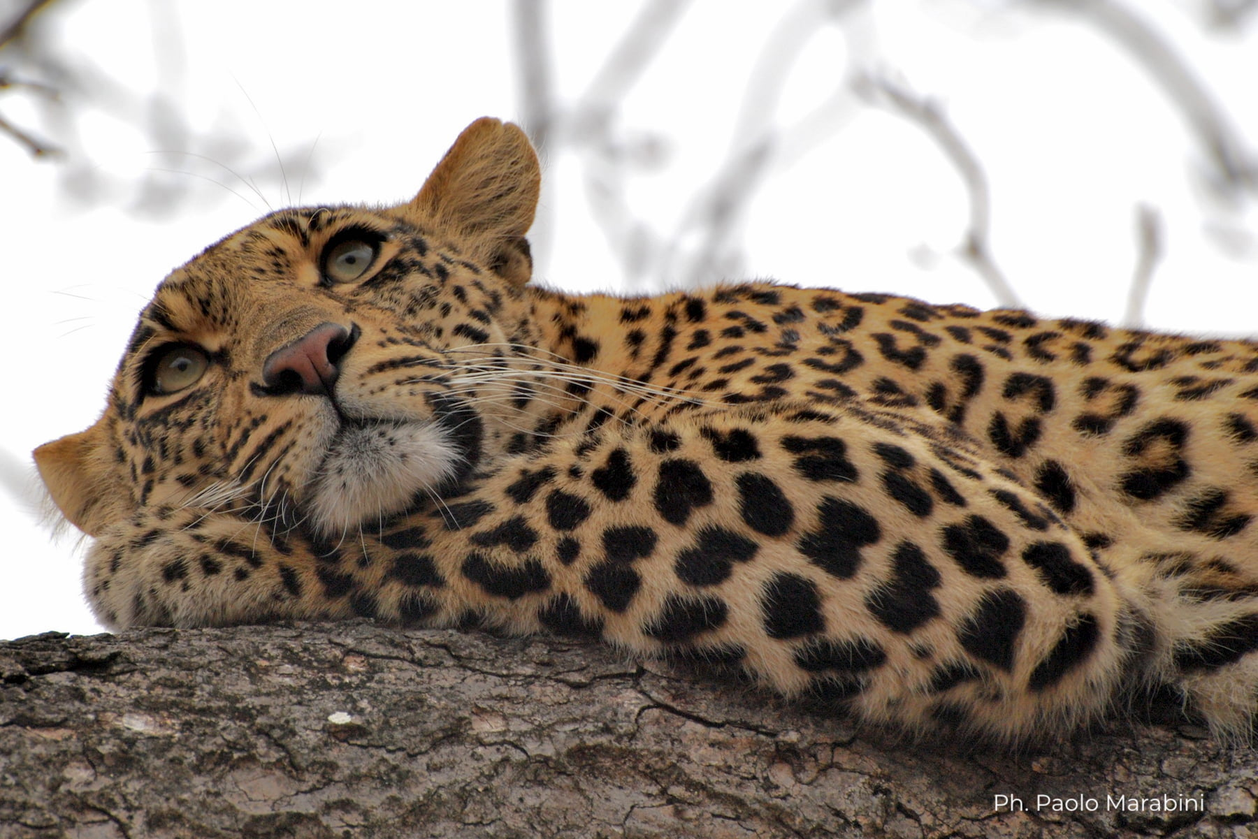 Sudafrica - Kruger - leopardo