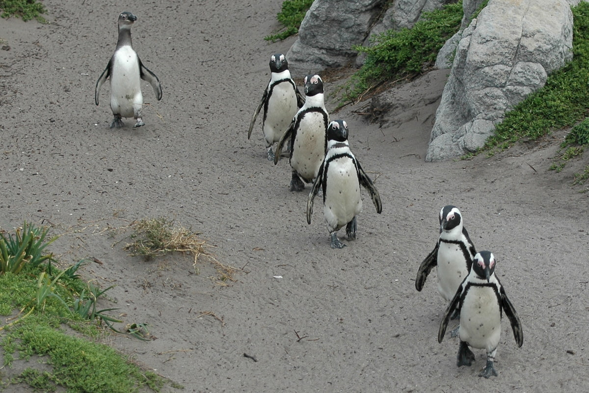 Sudafrica - Cape Town - Boulders Beach - pinguini