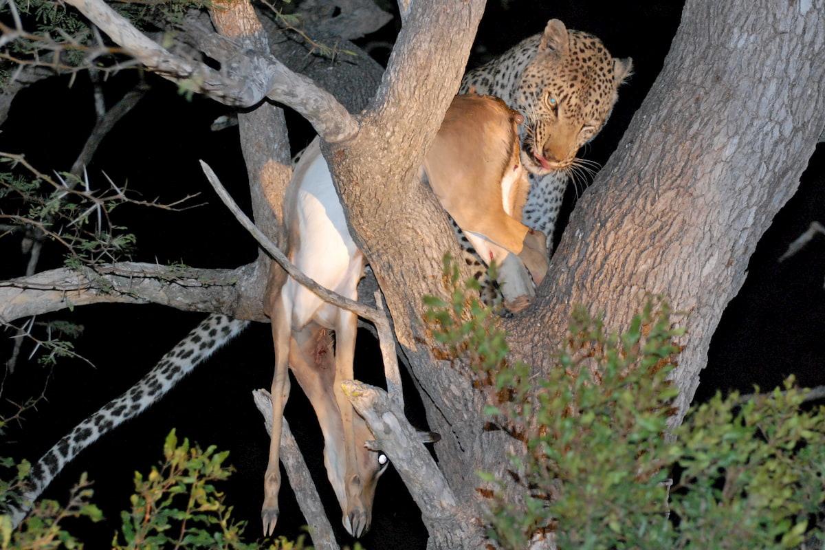 Sudafrica - Kruger - leopardo con la preda