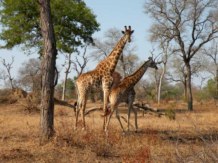 Adventour - Sudafrica - Safari - giraffe