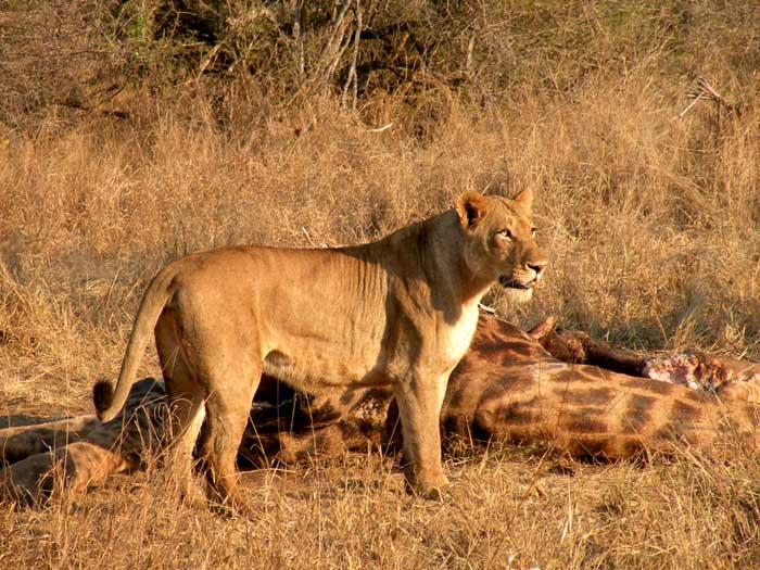 Adventour - Sudafrica - leonessa