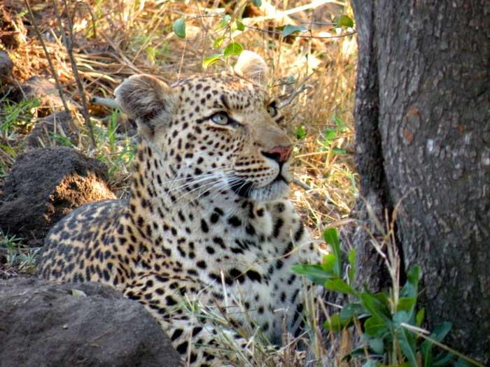 Sudafrica Mala Mala Kruger - leopardo