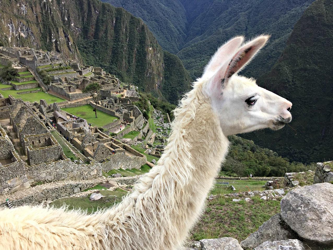 Adventour - Perù - Machu Picchu - lama