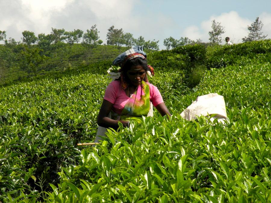 Adventour - Sri Lanka - piantagioni te