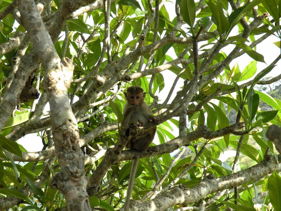 Adventour - Sri Lanka - scimmia