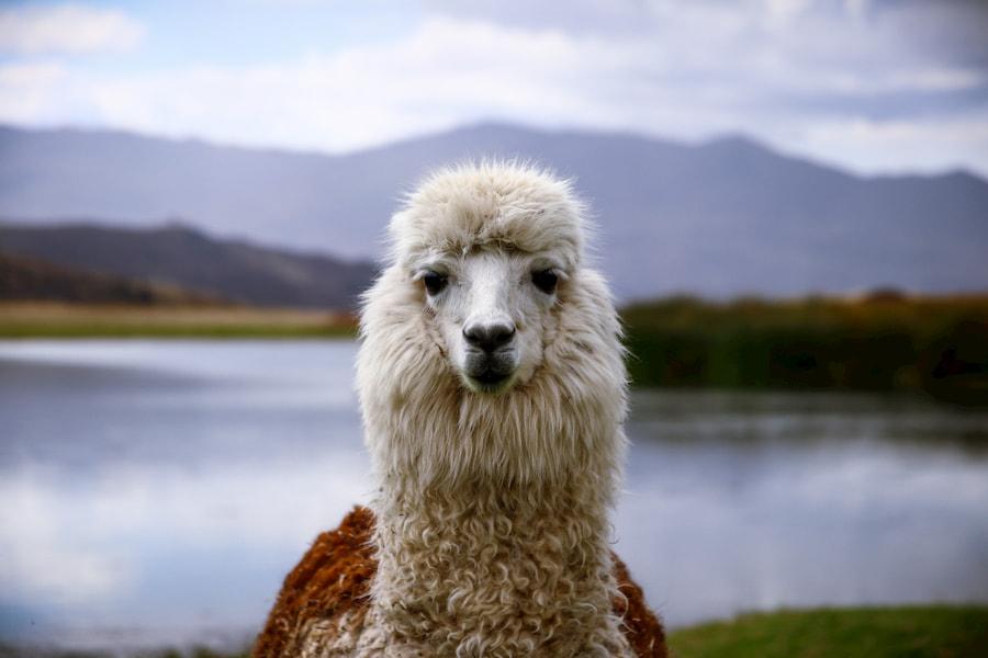 Adventour - Perù - lama